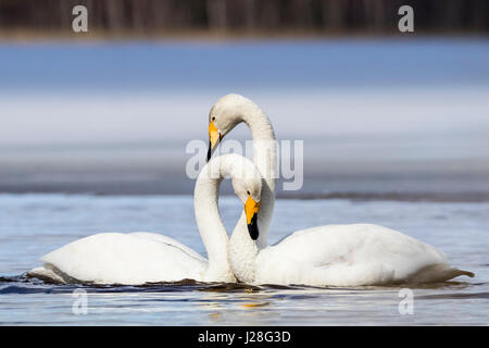 Whooper swan - Stock Photo