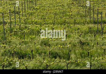 green vineyard landscape in spring time, vineyards rows - Stock Photo