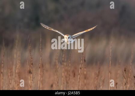 Barn Owl (Tyto alba) hunting over a meadow at sundown - Stock Photo