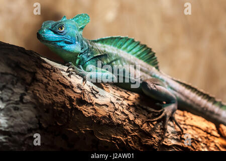 Close-up view of a green Plumed basilisk (Basiliscus plumifrons). - Stock Photo