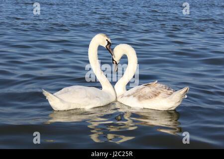 Swan love on Danube - Stock Photo
