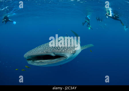 Whale Shark and people. Cenderawasih Bay, West Papua, Indonesia - Stock Photo