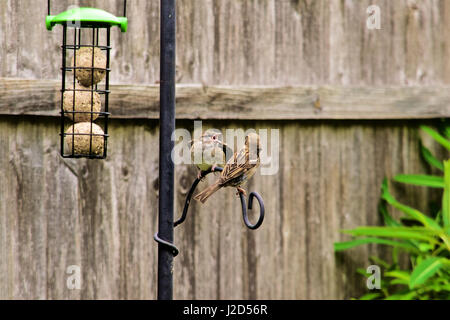 Sparrow feedings its young - Stock Photo
