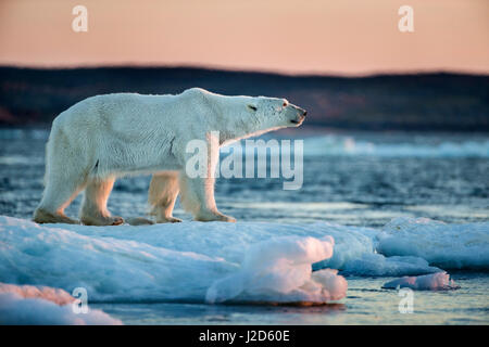 Canada, Nunavut Territory, Adult male Polar Bear (Ursus maritimus) standing on drifting pack ice near mouth of Wager - Stock Photo