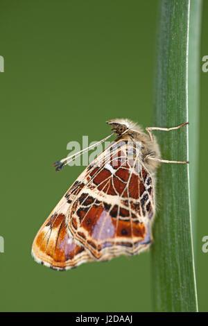 map butterfly; Araschnia levana - Stock Photo