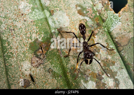 Conga Ant (Paraponera clavata), Yasuni National Park, Amazon Rainforest, Ecuador. South America - Stock Photo