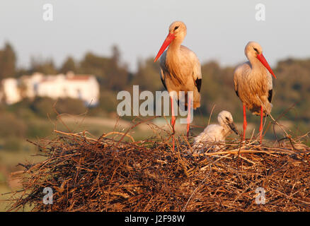 A pair of white storks on a nest with a young chick - Stock Photo