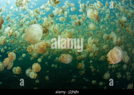 Millions of endemic jellyfish (Mastigias papua etpisonii) swim in an isolated marine lake in the Republic of Palau. - Stock Photo