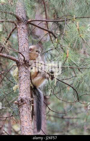 Yunnan Black Snub-Nosed Monkey (Rhinopithecus Bieti) - Stock Photo