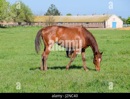 Horses graze in the pasture. Paddock horses on a horse farm. Walking horses. - Stock Photo