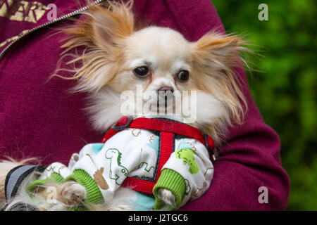 Samlesbury Hall, Preston, UK. 1st May, 2017. 'Teddy' the chihuahua in pyjamas st Samlesbury Hall's fifth Annual - Stock Photo