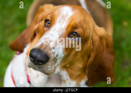 Samlesbury Hall, Preston, UK. 1st May, 2017. Minnie the Basset Hound at Samlesbury Hall's fifth Annual Fun Dog Show - Stock Photo