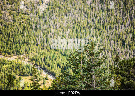 Clark's nutcracker bird in the Rocky Mountains in Colorado perched on top of pine tree in forest - Stock Photo