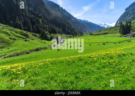Amazing alpine landscape with bright green meadows and grazing cows. Austria, Tirol, Stillup valley - Stock Photo