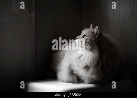 Yet another rainy day. Siberian cat. - Stock Photo