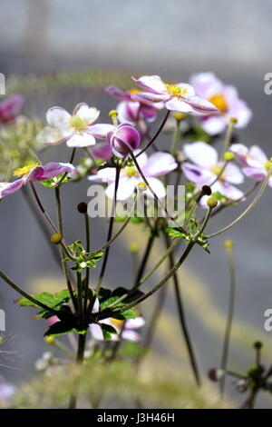 Anemone hupehensis,  Japanese Anemone, Chinese Anemone, Windflower, thimbleweed - Stock Photo