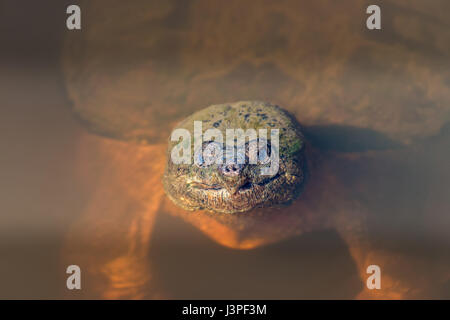 Close-up of the face of a large Snapping Turtle sticking its head out of the water in a Chesapeake Bay pond - Stock Photo