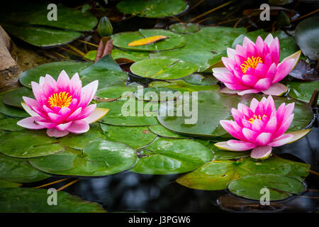 Nymphaeaceae is a family of flowering plants. Members of this family are commonly called water lilies and live as - Stock Photo