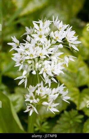 Spring flowers of ransoma, wild garlic, Allium ursinum, growing in a Devon hedgerow - Stock Photo