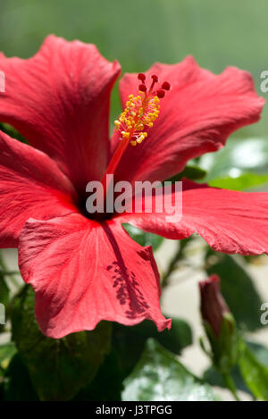 Red flower of Hibiscus rosa-sinensis or rose mallow with open petals and pronounced pistil supporrting styles, stigma - Stock Photo