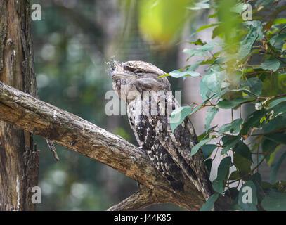 Tawny Frogmouth (Podargus strigoides) at Hartley's Crocodile Adventures, near Port Douglas, Far North Queensland, - Stock Photo