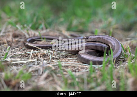 two female slow worms lie on each other - Stock Photo