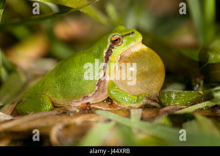 photo of a calling male common tree frog - Stock Photo