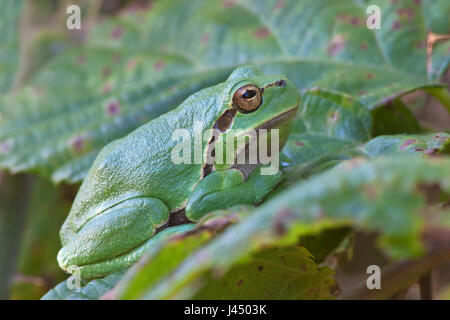 photo of a common tree frog (Hyla arborea) on a leaf - Stock Photo