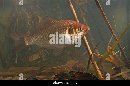 Photo of a gibel carp swimming in its environment underwater between reed and dead leafs - Stock Photo
