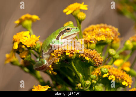 photo of a common tree frog on yellow flowers against a brown background - Stock Photo