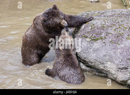 Brown bear couple cuddling in water. Two brown bears play in the water. - Stock Photo