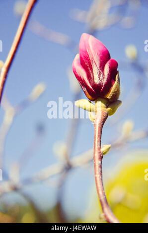 Blossom Magnolia flower in nature - Stock Photo