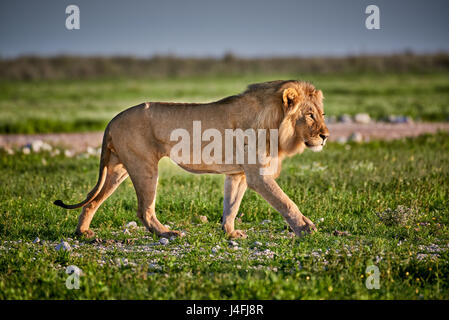 male lion (panthera leo) patrolling through  the area - Stock Photo