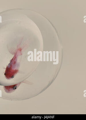 Two red goldfish with white fins of different size in concentric glass aquariums on a light gray background texture - Stock Photo