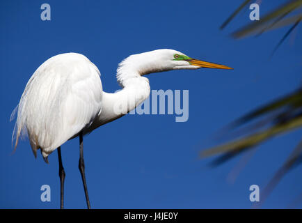 Great white heron poses in profile with green breeding stripe - Stock Photo