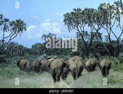 Landschaft, Afrikanische Elefanten,  Loxodonta africana, Rückenansicht  Elefant, Herde, Rüsseltier, Landsäugetier, - Stock Photo