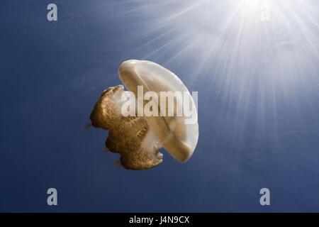 Underwater recording, Mastigias-display screen jellyfish, Mastigias Papua etpisonii, - Stock Photo