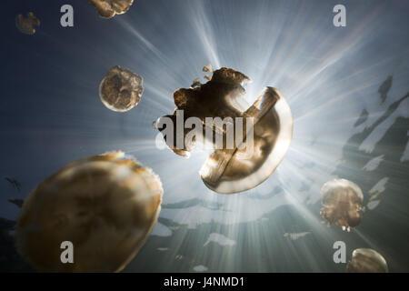 Underwater recording, Mastigias-display screen jellyfishes, Mastigias Papua etpisonii, back light, sunrays, - Stock Photo