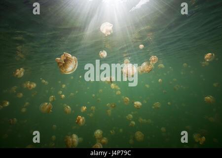 Underwater recording, Mastigias-display screen jellyfishes, Mastigias Papua etpisonii, sunrays, - Stock Photo