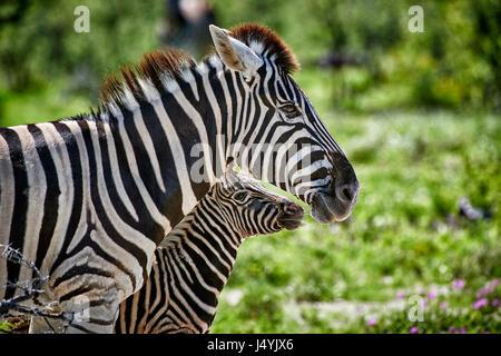 Burchell's zebra, mother with foal, Etosha National Park, Namibia - Stock Photo
