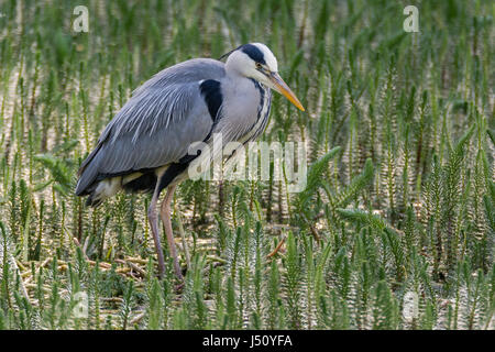 Grey heron (Ardea cinerea) hunting amongst vegetation. Large water bird in the family Ardeidae looking for fish - Stock Photo