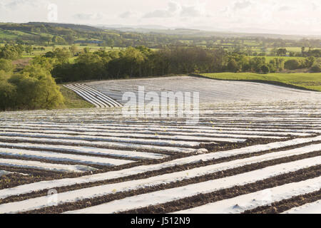 Plastic mulch sheeting rows on fields protecting crops - UK - Stock Photo
