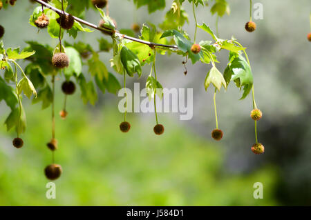 Chestnuts hanging from branches in a meadow on the island of Crete - Stock Photo