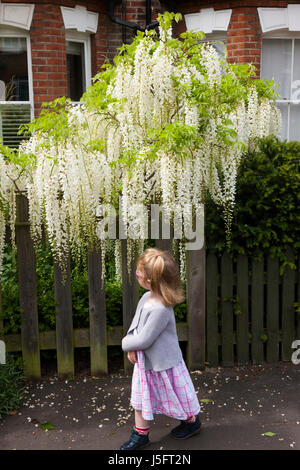 Two-year-old toddler girl smells / smelling a white wisteria flowering / in bloom on a suburban Victorian or Edwardian - Stock Photo