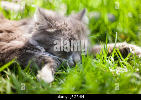 Beautiful gray furry cat lies and is played in the green dense spring grass on the lawn in the garden - Stock Photo