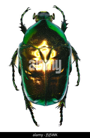 Flower Chafer Protaetia on white Background  -  Protaetia (Cetonischema) speciosissima (Scopoli, 1786) - Stock Photo