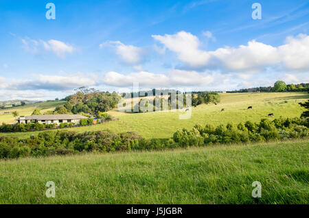 New Zealand peaceful farmland and grazing cows - Stock Photo