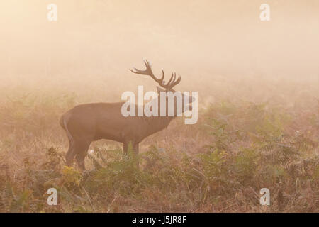 Red Deer stag (Cervus elaphus) roaring bellowing calling showing breath, on a cold morning - Stock Photo