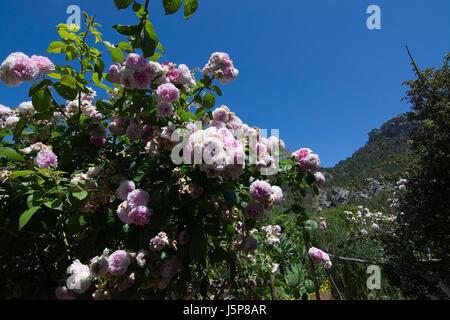 Rose bush in subtropical garden Mallorca, Spain. - Stock Photo