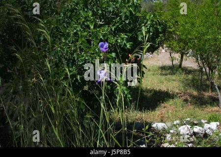Blue iris and lavender terrace garden Mallorca, Spain. - Stock Photo